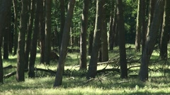 Red Deer (cervus elaphus) stag grazing in pine forest Stock Footage