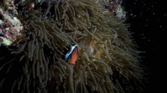 Large anemonefish in anemone Stock Footage
