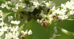 two aphids crawling on the flowers 4k fs700 odyssey 7q - stock footage