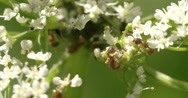 Stock Video Footage of two aphids crawling on the flowers 4k fs700 odyssey 7q