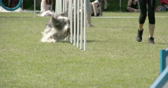 showcasing dogs agility on the obstacles 4k fs700 odyssey 7q - stock footage
