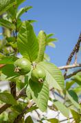 psidium guajava linn - stock photo