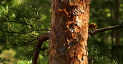 The brown trunk of the pine tree 4k fs700 odyssey 7q Stock Footage