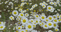 White daises on the field 4k fs700 odyssey 7q Stock Footage