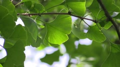 Ginkgo leaves in the forest in sunlight - stock footage
