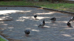 Gray pigeons pecking bread Stock Footage