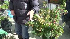 Decorative yellow raspberry plants gardener sale city market Stock Footage
