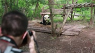 Stock Video Footage of photographer at the giant panda breeding research center in chengdu