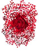 close up of red rose exploding - stock illustration