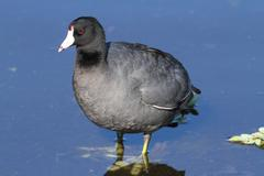 American coot (fulica americana) Stock Photos