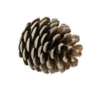 Stock Photo of Cedar Cone Isolated on White Background