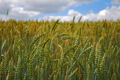 field sown with wheat, ripened crop ready for harvest - stock photo