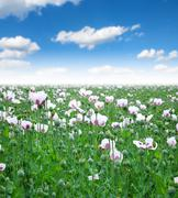 Field sown with poppy opium poppy in bloom Stock Photos