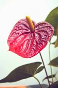 anthurium andreanum - stock photo