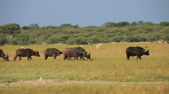African buffaloes and springbok antelopes on the African plains, South Africa Stock Footage