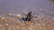 Stock Video Footage of Armoured ground cricket