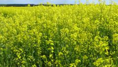 Canola Field in Northern Germany. - stock footage