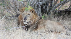 Big male African lion Stock Footage