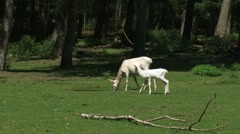 Leucistic white colored Red Deer (cervus elaphus) hind with calf at forest edge Stock Footage