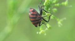 Pentatomidae beetle Shield bugs macro 4k Stock Footage