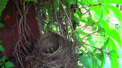 Bird sits on the eggs in the nest. Stock Footage