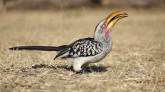 Yellow-billed hornbill Stock Footage
