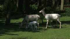 Leucistic white Red Deer (cervus elaphus) hinds with calves at forest edge Stock Footage