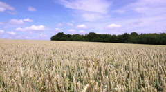 Wheat field in anticipation of maturation. Stock Footage