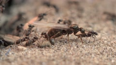 Earthmoving ants with ant queens kicked Stock Footage