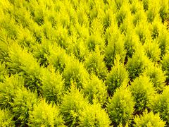 Pattern of young conifer trees Stock Photos