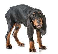 black and tan coonhound - stock photo