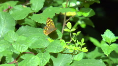 Vintage butterfly and cherry tree flower in spring Stock Footage