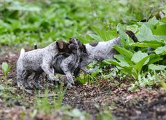 litter of puppies playing - stock photo
