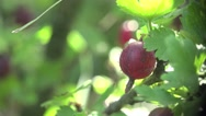 Stock Video Footage of Brown GooseBerry macro in wild forest 4k