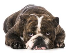 dog laying down - stock photo