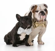 English and french bulldogs Stock Photos