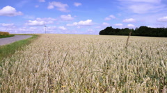 Stock Video Footage of Wheat field in anticipation of maturation.