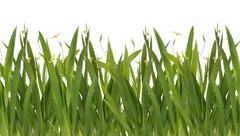 green grass with yellow flower isolated on white - stock photo