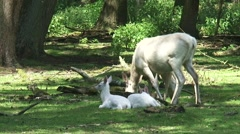 White Leucistic Red Deer hind (cervus elaphus) at forest edge, calves in shade Stock Footage