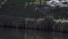 Heron catching a big fish - stock footage