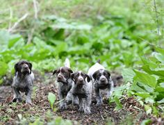 litter of puppies - stock photo