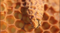 Stock Video Footage of Birth of Queen Bees