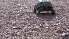 Desert Tortoise Kävely 4K Arkistovideo