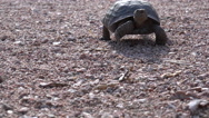 Stock Video Footage of Desert Tortoise Walking 4K
