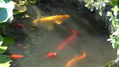 Coy Carp and Gold Fish surface in pond Stock Footage