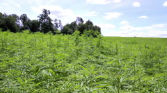 Cannabis field. Stock Footage