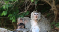 Stock Video Footage of Family of monkey