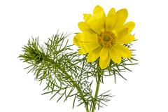 Flowers of adonis, lat. adonis vernalis, isolated on white background Stock Photos