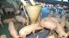 Pigs eating in farming Stock Footage