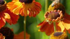 Bee or Honeybee  Pollinating Flowers Stock Footage